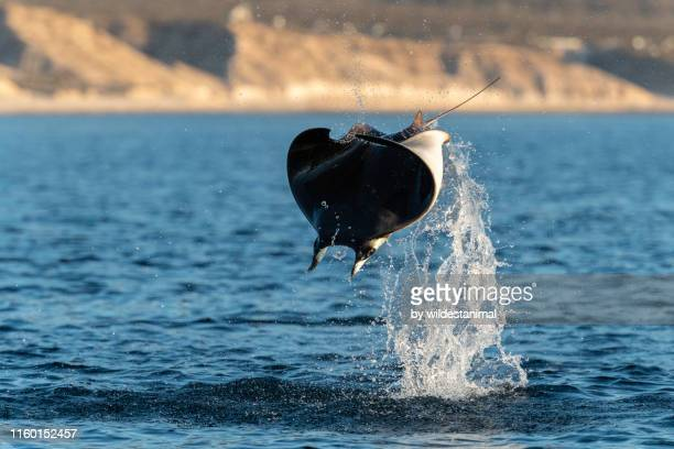 close up view of a munk's devil ray(mobula munkiana) breaching in the early morning, sea of cortes, baja california, mexico. - cabo san lucas stock pictures, royalty-free photos & images