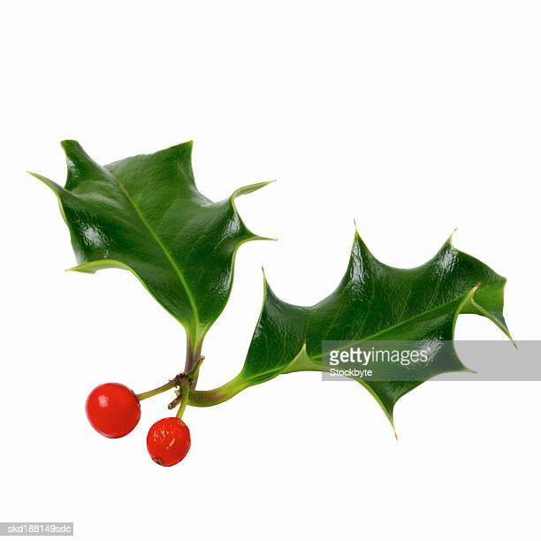 Close up view of a piece of holly