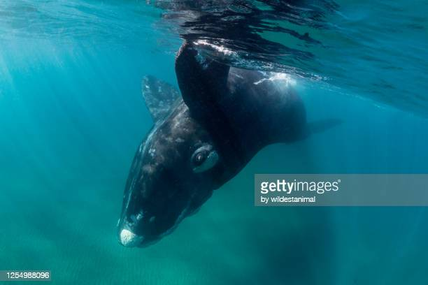 close up view of a playful southern right whale juvenile, nuevo gulf, valdes peninsula, argentina, a unesco world heritage site.. - duroni foto e immagini stock