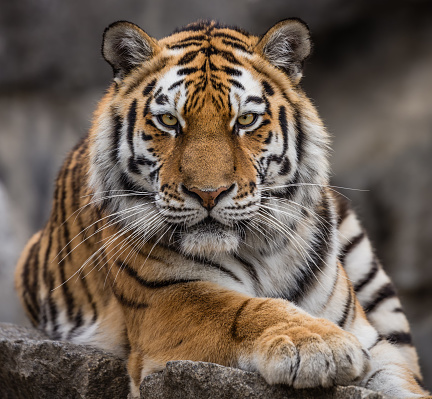 Close up view of a Siberian tiger (Panthera tigris altaica) 918169872