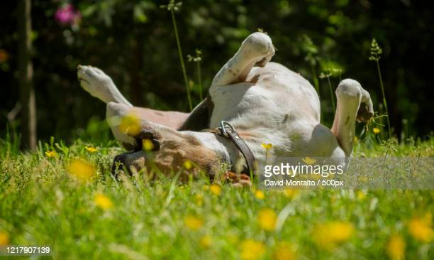 close up view of a treeing walker coonhound dog rolling on a meadow - coonhound stock pictures, royalty-free photos & images