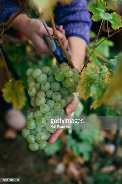 A close up view of a woman harvesting grapes