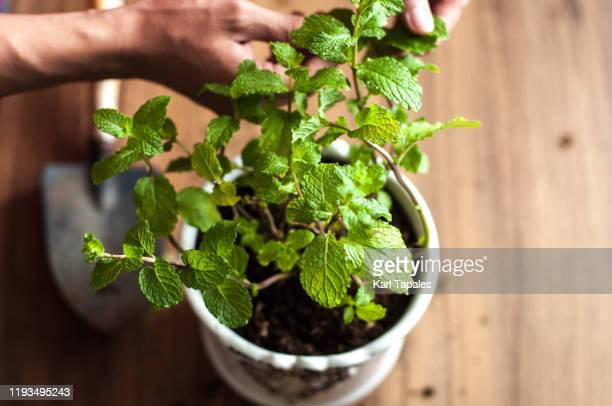 a close up view of a young person picking up mint leaves - lippenblütler stock-fotos und bilder