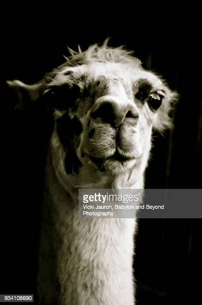 Close Up View of an Alpaca in Black and White