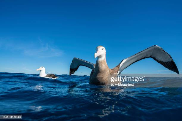 close up view of an antipodean albatross on the water with it's wings spread. - albatroz imagens e fotografias de stock