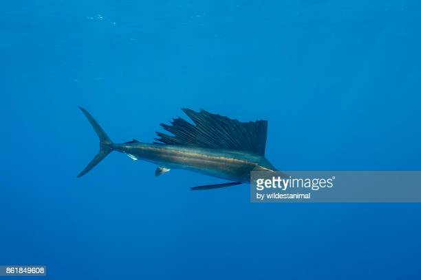 close up view of an atlantic sailfish during the sardine feeding season off the coast of cancun, mexico. - marlin stock photos and pictures