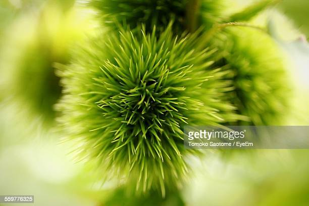 Close Up View Of Chestnuts
