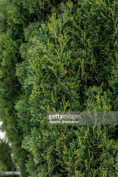 close up view of cypress tree - cypress tree stock pictures, royalty-free photos & images