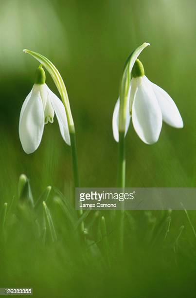 Close up view of delicate snowdrops in amongst the grass in Suffolk.