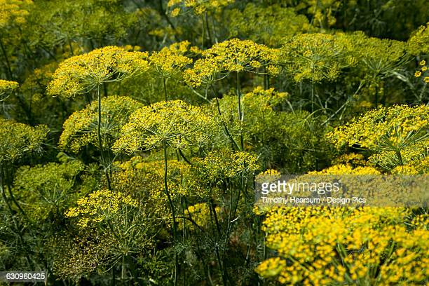 close up view of flowering dill plants as seen on a commercial farm in the coachella valley - timothy hearsum stock photos and pictures