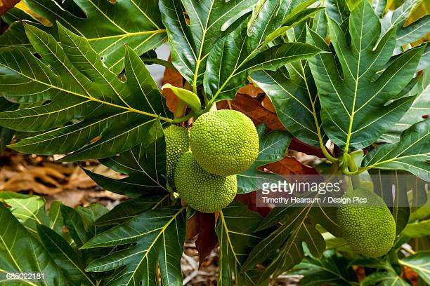 close up view of four breadfruit developing on a tree in the north kohala district of the big island - timothy hearsum stock pictures, royalty-free photos & images