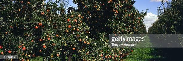 close up view of gala apple trees - timothy hearsum fotografías e imágenes de stock
