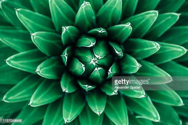 close up view of green cactus leaves - bloem plant stockfoto's en -beelden