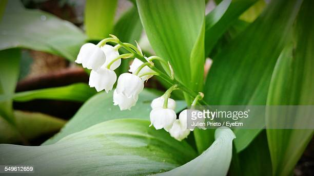 close up view of lily of the valley flowers - mughetti foto e immagini stock