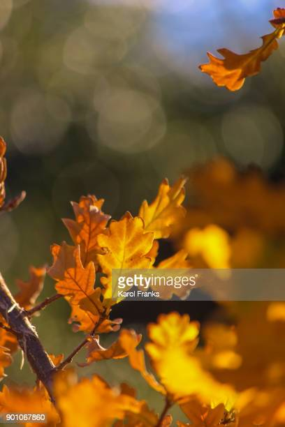Close up view of oak leaves in autumn