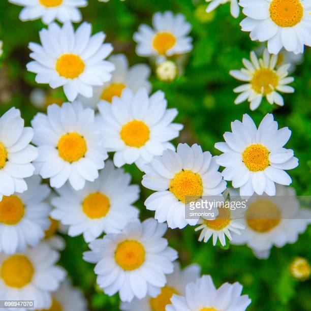 Close up view of Oxeye Daisy (Leucanthemum Vulgare)