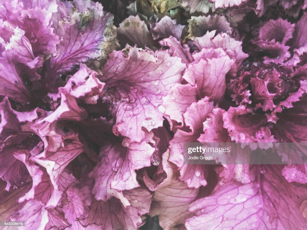 Close up view of Purple Kale Leaves covered in water droplets : Stock Photo