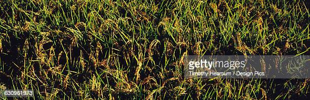 close up view of rice paddy with mature seed heads in mid-summer - timothy hearsum stock pictures, royalty-free photos & images
