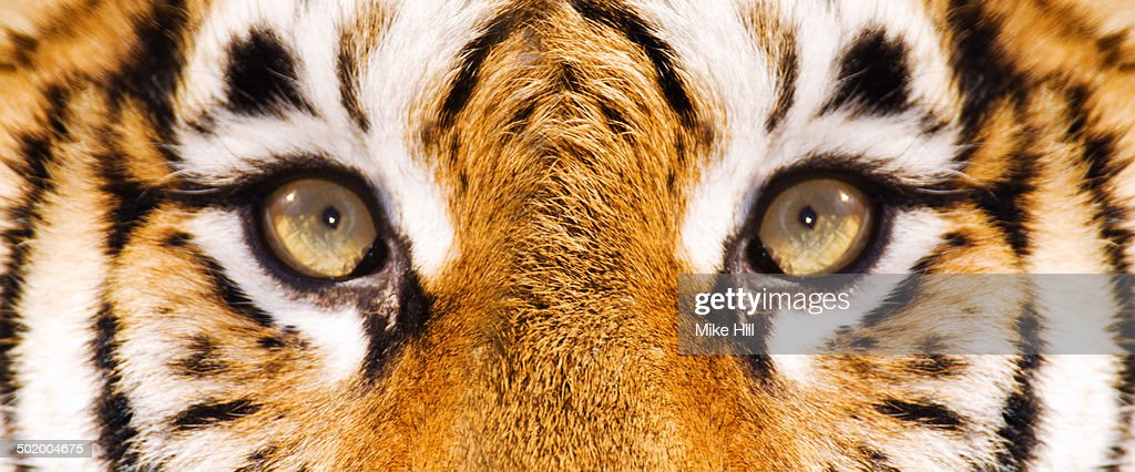 Close up view of Siberian Tiger's face : Stock Photo