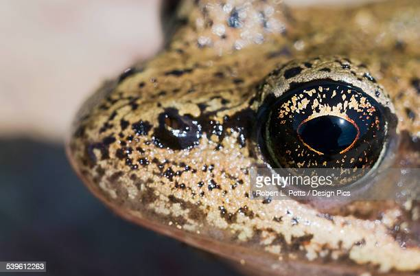 Close Up View Of The Eye Of A Red-Legged Frog