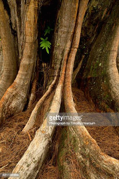 close up view of trunk and roots of ironwood tree - timothy hearsum stockfoto's en -beelden