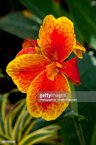 close up view of yellow-edged red canna lily blossom in garden setting - timothy hearsum stock pictures, royalty-free photos & images