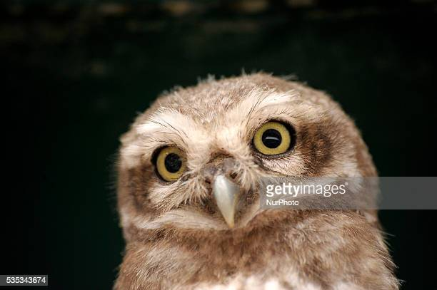A close up view of young owl sits in the cable line wire at Kirtipur Kathmandu Nepal on May 29 2016 Nepal is home to a total of 21 species of owl and...