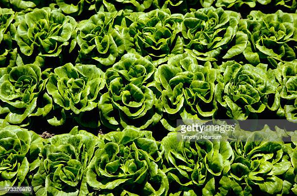 close up view-rows of mature butter lettuce heads - timothy hearsum stock pictures, royalty-free photos & images