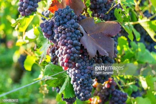 Close up vine grapes in champagne region in autumn harvest