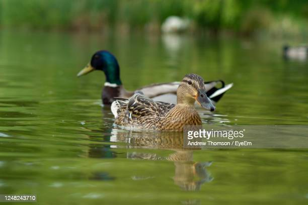 close up water level view of male and female mallard drake and hen ducks on water - drake stock pictures, royalty-free photos & images