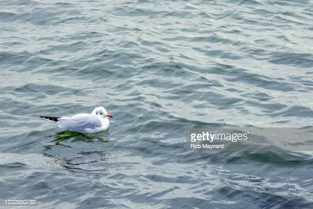close up white of herring gulls bird - publisher stock pictures, royalty-free photos & images