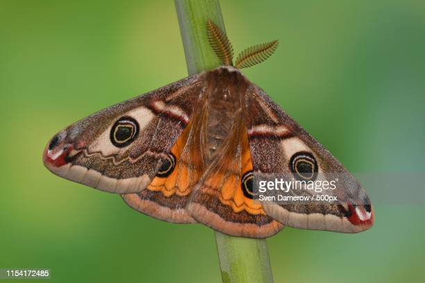 close up of moth - papillon de nuit photos et images de collection