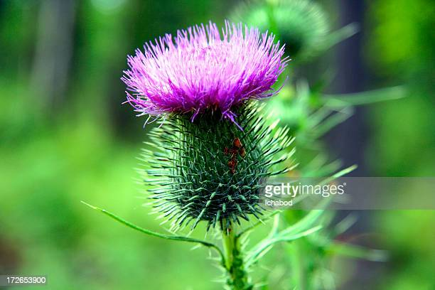 Close up-Thistle