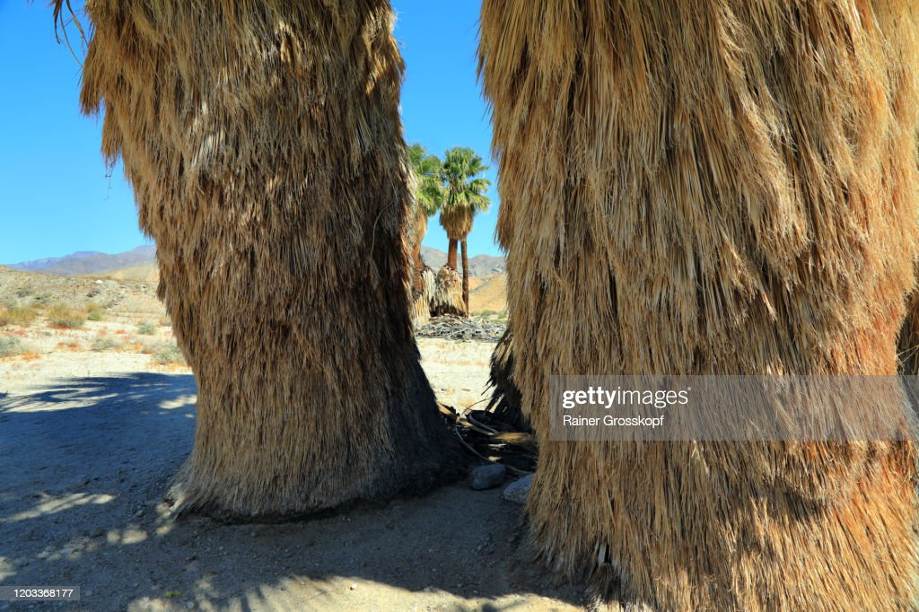 Close view at palm trees in an oasis in a mountaineous desert : Stock-Foto