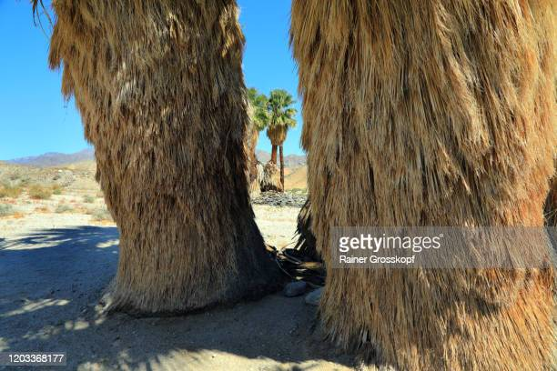 close view at palm trees in an oasis in a mountaineous desert - rainer grosskopf imagens e fotografias de stock