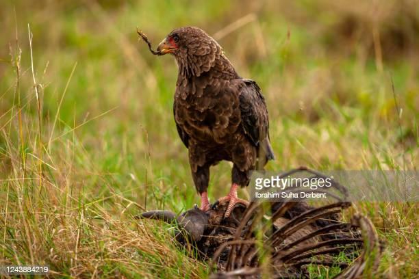 close view of a bateleur eagle scavenging a carrion - bateleur eagle stock pictures, royalty-free photos & images