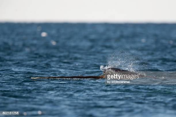 close view of a male narwhal swimming along the surface with it's tusk out of the water, baffin island, canada. - narwhal stock photos and pictures
