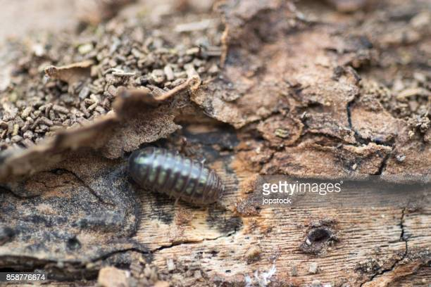 close view of a upside down pill bug on the nature - louse stock pictures, royalty-free photos & images