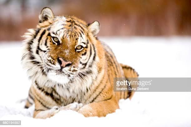Close view of an amur tiger