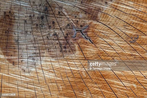 Close view of beech tree rings
