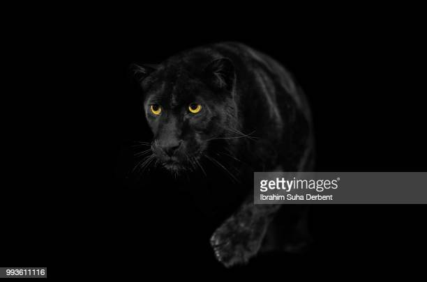 Close view of black leopard while walking.