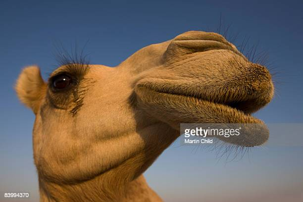 close view of camel's head