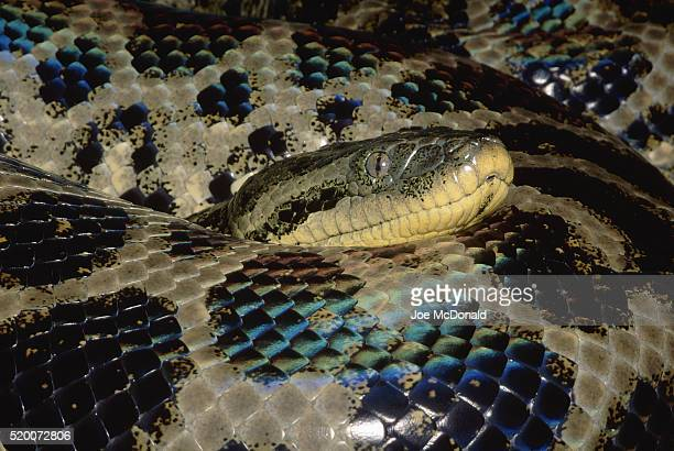 Close View of the Head of an Anaconda
