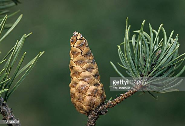 closed jack pine cone, pinus banksiana, a pioneer after fires, michigan, usa (ic) - ed reschke photography photos et images de collection