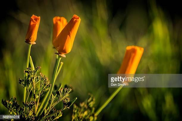 closed poppies - don smith imagens e fotografias de stock