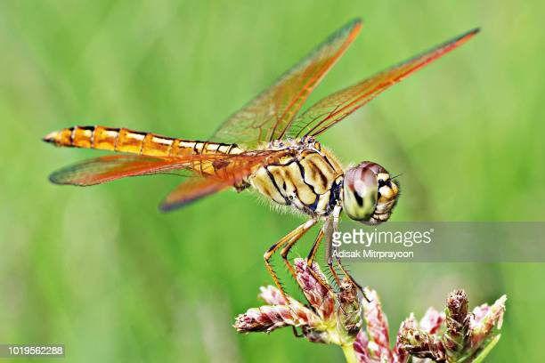 Closed up dragonfly and transparent wings on grass.