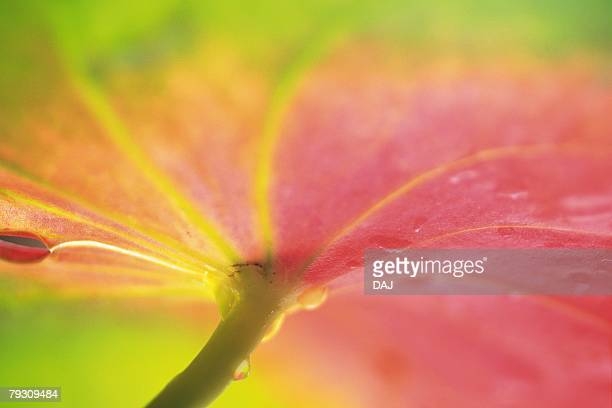 Closed Up Image of a Anthurium Flower, Differential Focus