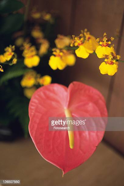 Closed Up Image of a Anthurium Flower, Flower Arrangement, Differential Focus