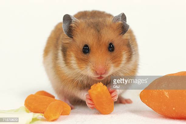 closed up image of a golden hamster, eating some carrots, front view - golden hamster stock pictures, royalty-free photos & images