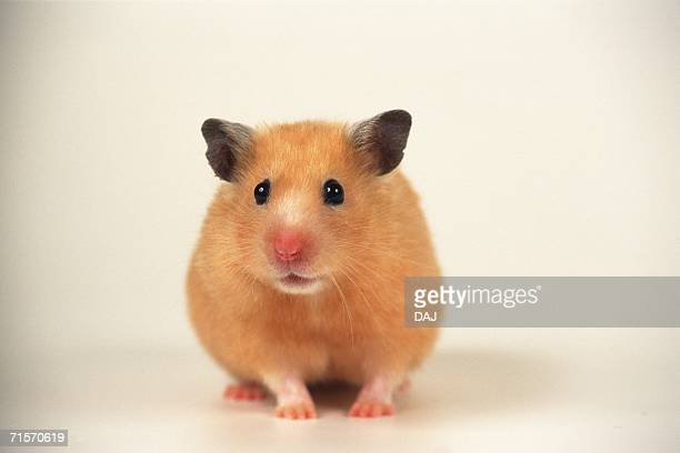 closed up image of a golden hamster, looking sideways, front view, differential focus - golden hamster stock pictures, royalty-free photos & images